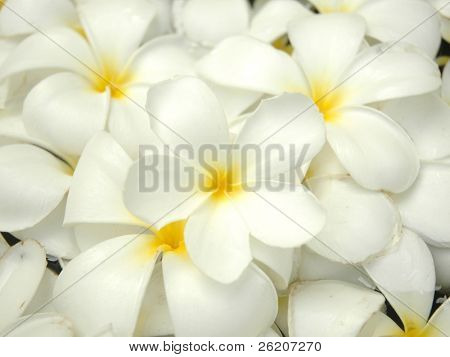 White frangipani background