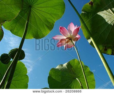 Pink Lotus against blue sky