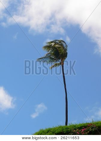 Lone Palm blows in the Wind