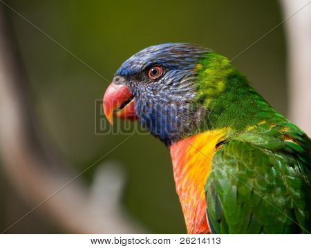 Bright colored Lorikeet birds in a wild aviary