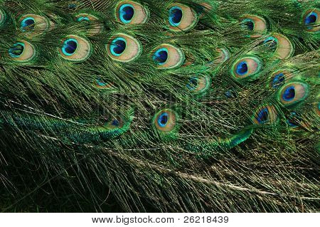 Male Peacock feather background