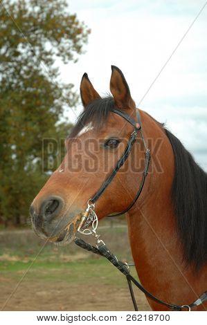 Head shot of a  brown arabian horse