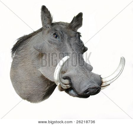 A taxidermy head mount of a Warthog at an oblique angle on a white background