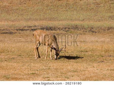 solitary California Black-tailed bucks grazing on grasses