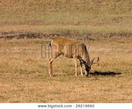 California Blacktail buck eating