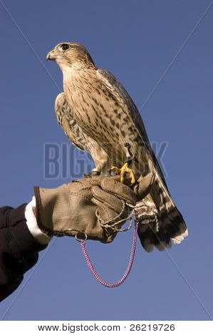Merlin on falconers glove against a blue sky