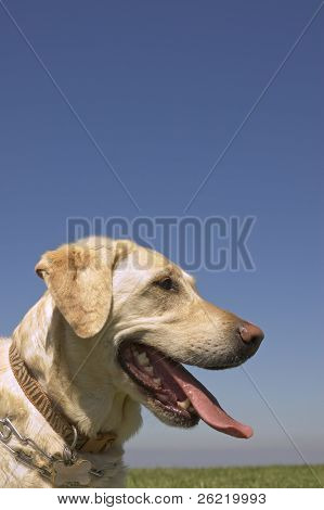 A female White Labrador dog with copy space above in blue sky