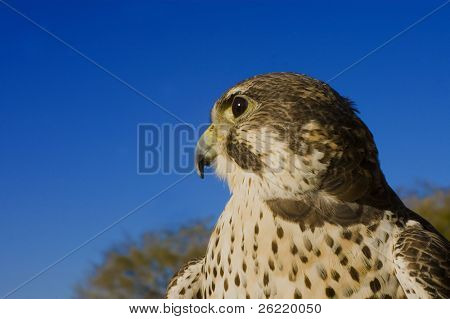 Peregrine Falcon crossbred with a Prarie Falcon and Gyrfalcon mix