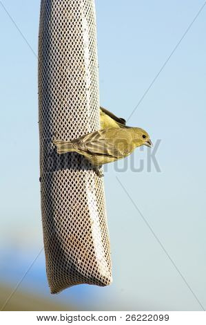 lesser goldfinch on a feeder of thistle seed