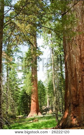 a doe in front of a very tall Sequoia Gigantica in Mariposa grove, in Yosemite National Park, California, USA