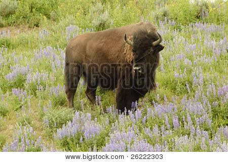 North American Bison in Yellowstone park