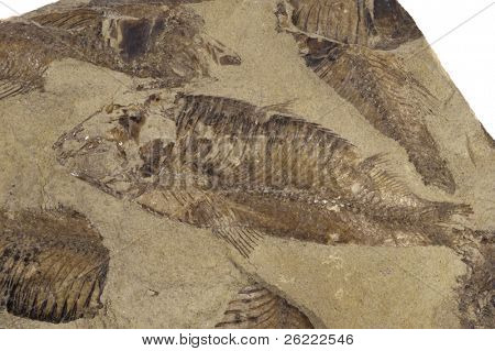 fossilized fish in a bed of sandstone