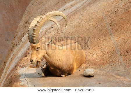 Scimitar horned Ibex resting on a ledge