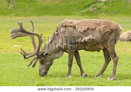 male Alaskan caribou feeding and moulting from winter to summer pelage