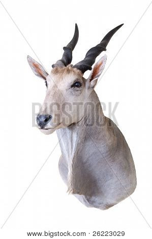 Taxidermy mount of an Eland (Taurotrgus Derbianus)