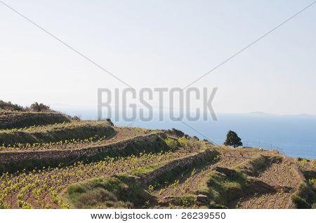 Vineyard at Paros island (Greece)