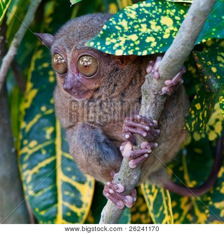 Tarsier on a tree
