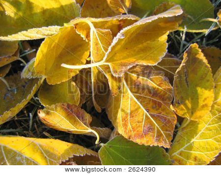 Yellow Frosted Leaves