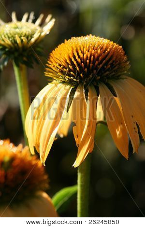 Echinacea purpurea 'harvest moon' coneflower perennial..new variety