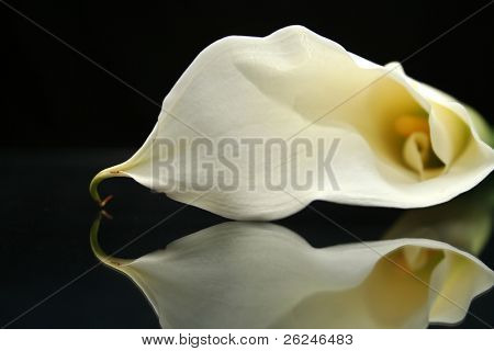 Reflections of a calla lily