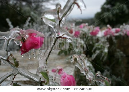frozen pink flowers in Texas