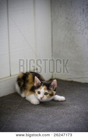 Cute kitten crouched, ready to pounce