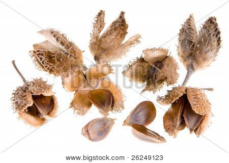Beech Nuts On White Background