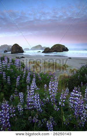 Lupine and sea stacks along the Oregon coast