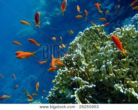 Scalefin Anthias in the Red Sea and coral in blue