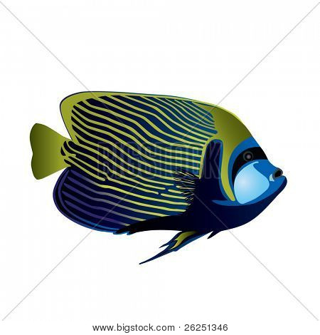 Tropical fish Angelfish