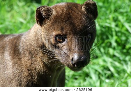A Fossa,Neither Cat Nor Dog.