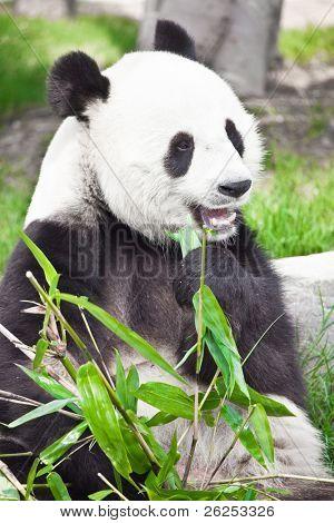 Feeding time. Giant panda eating bamboo leaf