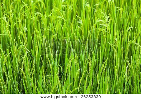 Green ear of rice closeup. Paddy fields.