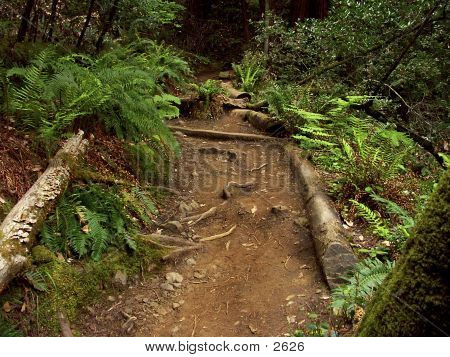 Muir Woods Path 2