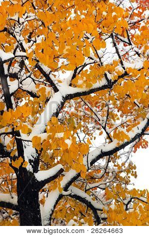 sudden snowfall in the fall oak forest