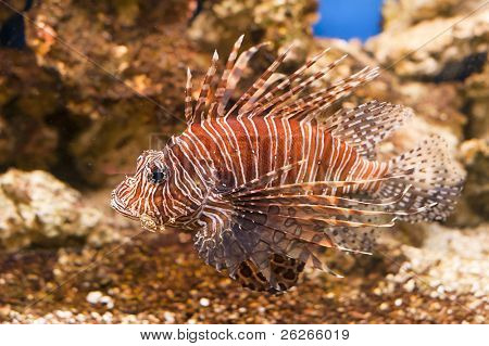tropical fish red Lionfish - Pterois Volitans