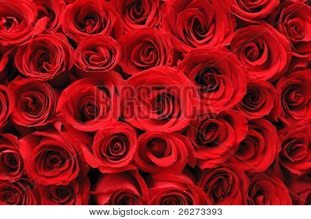 Background of beautiful red rose