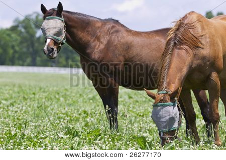Two horses in a pasture with burlap bags on their heads to protect them against flies