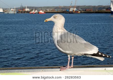 A young seagull in Falmouth, Cornwall UK.