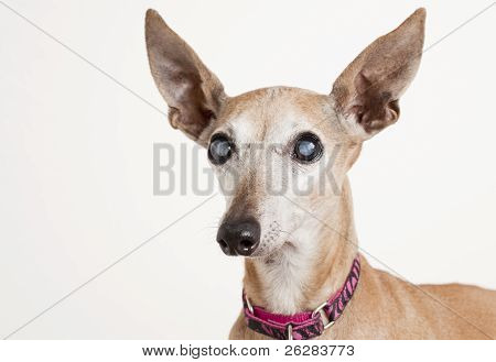 Old Dog With Eye Cataract