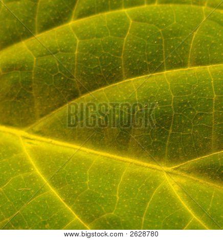 Salvie Golden Leaf