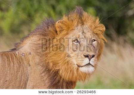 Male lion (leo panthera) at the Addo Elephant Park in South Africa.