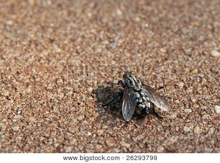 Big nasty fly on a concrete surface
