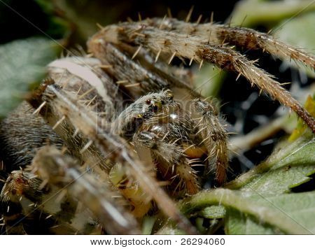 Extreme closeup of a cross spider