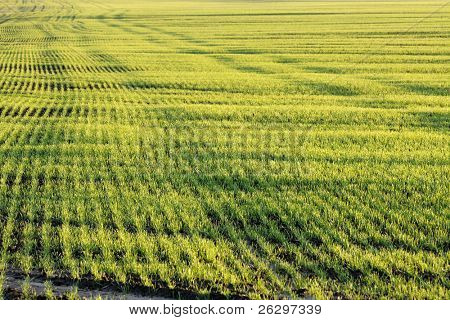 Agricultural field background with small plants