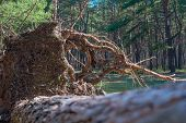 Fallen Pine Tree Is Rotting In The Middle Of The Forest Storm Damage. Fallen Tree In The Park After  poster