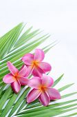image of flower arrangement  - Tropical frangipani on palm leaf - JPG