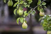 Close-up Bunch Of Beautiful Green Pears Hanging Ripening On Tree Branch With Green Leaves Lit By Bri poster