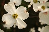 stock photo of profusion  - Profusion of dogwood blooms - JPG