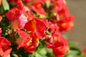 foto of profusion  - profusion of red snapdragon flowers with the dew of the early morning - JPG